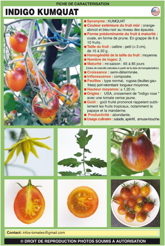Indigo Kumquat